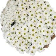 Large bouquet of chamomile chrysanthemums - flowers and bouquets on roza.kharkov.ua