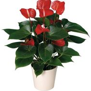 Anthurium - flowers and bouquets on roza.kharkov.ua