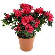 Азалия - цветы и букеты на roza.kharkov.ua