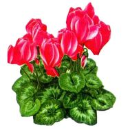 Cyclamen - flowers and bouquets on roza.kharkov.ua
