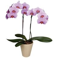 Phalaenopsis Orchid - flowers and bouquets on roza.kharkov.ua