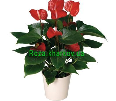 """Anthurium"" in the online flower shop roza.kharkov.ua"