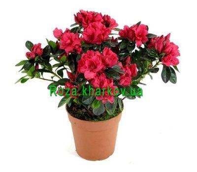 """Azalea"" in the online flower shop roza.kharkov.ua"