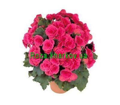 """Begonia"" in the online flower shop roza.kharkov.ua"