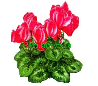 """Cyclamen"" in the online flower shop roza.kharkov.ua"