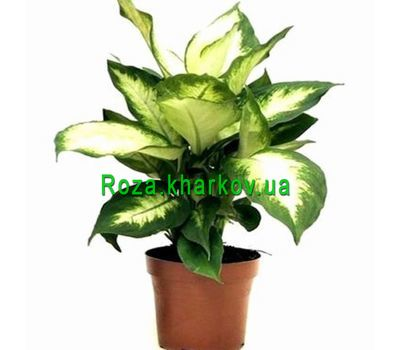 """Dieffenbachia"" in the online flower shop roza.kharkov.ua"