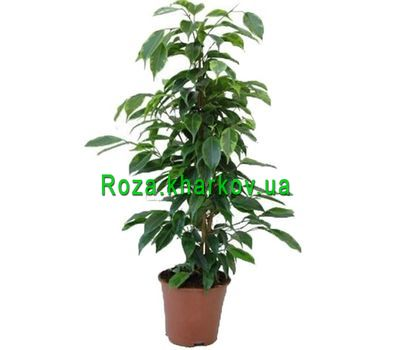 """Ficus"" in the online flower shop roza.kharkov.ua"