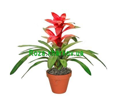 """Guzmania"" in the online flower shop roza.kharkov.ua"