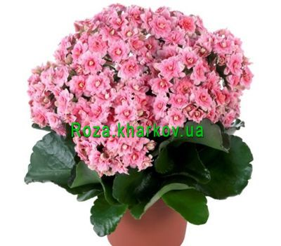 """Kalanchoe"" in the online flower shop roza.kharkov.ua"