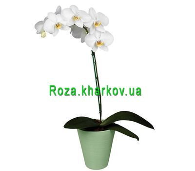 """Phalaenopsis white orchid"" in the online flower shop roza.kharkov.ua"