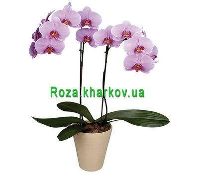 """Phalaenopsis Orchid"" in the online flower shop roza.kharkov.ua"