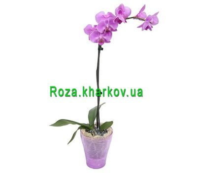"""""""Phalaenopsis pink orchid"""" in the online flower shop roza.kharkov.ua"""