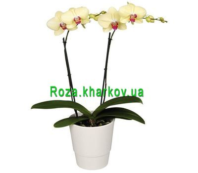 """""""Phalaenopsis Yellow Orchid"""" in the online flower shop roza.kharkov.ua"""