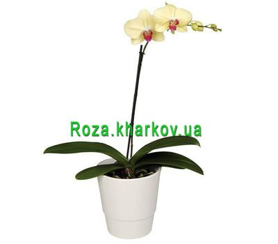 """Phalaenopsis Yellow Orchid"" in the online flower shop roza.kharkov.ua"
